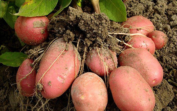 Как растет картофель. Растение картошка.