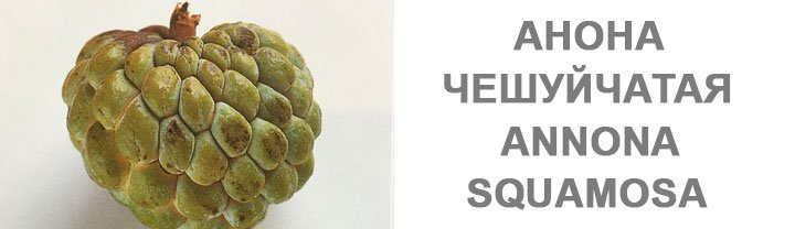 Мангостан Annona Squamosa